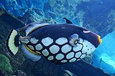 fish reminds me of our travels, Boca del Toro, Truk Island