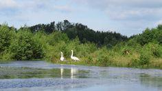 2017-07-17 Ook de zwanen hebben het goed naar hun zin in De Doorbraak nabij Ypelo