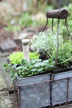 How to overwinter your herb garden- Many herbs can overwinter outdoors if cared for properly. You can also preserve herbs in creative ways and overwinter them indoors. Learn how to overwinter herbs with these simple tips. Growing Herbs In Pots, Plants, Preserving Herbs, Garden Art Diy, Herbs, Plant Tags, Garden Design, Garden, Garden Art