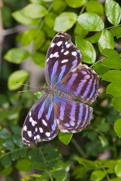 Mexican Bluewing (Myscelia ethusa)