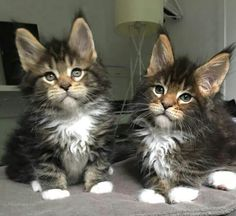 Cute Cats And Kittens, Cool Cats, Kittens Cutest, Animals And Pets, Baby Animals, Cute Animals, Rare Cats, Maine Coon Kittens, Norwegian Forest Cat