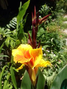 The first Canna lily of the season.