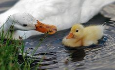 Peking ducks are very smart and if they like/trust you they might let you pick them up. :-)