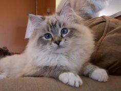 Ragdoll Colors & Patterns Available - Lions Royale Ragdolls Ontario