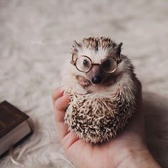Adorable little creatures pygmy hedgehog, funny hedgehog, happy hedgehog, animal pictures, cute Funny Hedgehog, Pygmy Hedgehog, Baby Hedgehog, Hedgehog Animal, Cute Little Animals, Cute Funny Animals, Cute Creatures, Animals And Pets, Small Animals