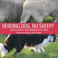 """A Fun Game to Satisfy Your Herding Dog's """"Herding Instinct"""" 