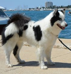 Beautiful Dog Breeds, Beautiful Dogs, Cute Dogs And Puppies, Doggies, Laika Dog, Animals And Pets, Funny Animals, Cat Bedroom, Akita