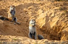 Ground squirrel ( #Mabuasehube area, Botswana side) @ Kgalagadi Transfrontier Park in #SouthAfrica. See our #Kgalagadi travel guide: http://www.safaribookings.com/kgalagadi