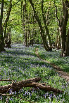 Bluebells, Norfolk, England by nickpix2012