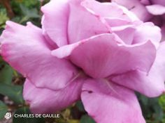 Image 1 Rising Strong, Flower Vases, Flowers, Hybrid Tea Roses, Natural Shapes, Lilac, Old Things, Bloom, Nature