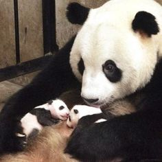 One-month-old twin panda cubs. no wonder doting mum has dark circles under her eyes - - The giant panda gave birth to two twins - a boy and a girl - a month ago in China. These delightful pictures show that both mother and cubs are doing just great. Cute Baby Animals, Animals And Pets, Funny Animals, Wild Animals, Panda Lindo, Baby Panda Bears, Baby Pandas, Panda Babies, Baby Cubs
