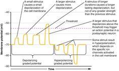 Communication Between Neurons – Anatomy and Physiology Body Nervous System, Neuromuscular Junction, Substance P, Dopamine Receptor, Computational Biology, Nerve Fiber, Information Processing