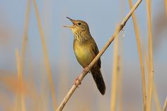 Photo Common grasshopper warbler by Joost van Doorn on 500px