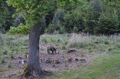 GREAT HUNTING: Černá zvěř bachyně se selaty v lese