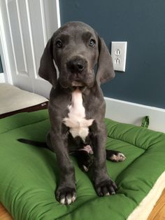 Great Dane puppy, Barnaby!