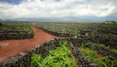 Exploring The Basalt Lined Vineyards And Historic Grapes Of The Azores' Pico Island
