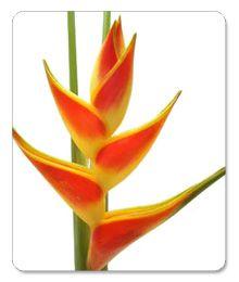 virágküldés blog - minden, ami virágküldés, virágküldő szolgálat, virágfutár és virág: Rákolló virág, Heliconia