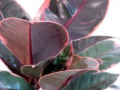 "Hirt's Strawberry & Cream Ruby Rubber Tree Plant - Ficus - 4"""" Pot"