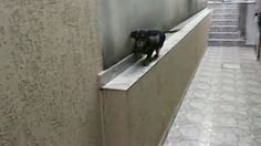 Funny Dachshung Dog gets stuck and walks back on small wall - http://dailyfunnypets.com/videos/dogs/funny-dachshung-dog-gets-stuck-and-walks-back-on-small-wall/ - Funny Teckel Dog gets stuck and walks back on small wall... Hilarious dog moon walking on a wall! Michael Jackson's pet??! maybe! - (animal), dashchung, dog, funny, jackson, lol, michael, Moon, pet, walk