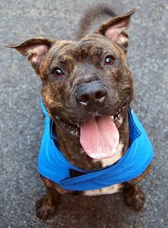 Manhattan Center   SIMBA - A1020027 *** RETURNED AGAIN ON 1/6/15 - NYCHA BAN *** EXPERIENCED HOME ***  NEUTERED MALE, BR BRINDLE, AMERICAN STAFF MIX, 2 yrs OWNER SUR - ONHOLDHERE, HOLD FOR ID Reason NYCHA BAN  Intake condition EXAM REQ Intake Date 01/06/2015 https://www.facebook.com/photo.php?fbid=946315152048031