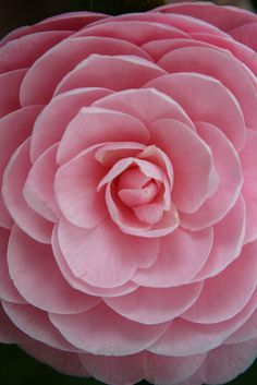 Pink Camellia, the fibonacci sequence