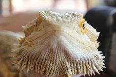 Bearded Dragon - what you looking at by Lindsey Hatfield, via Flickr