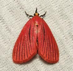 Pyralid Moth (Arctioblepsis rubida)