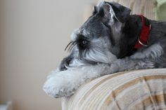 My lifetime friend that live for the most important 14 years of my life was a miniature Schnauzer