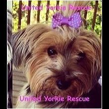 Yorkie Rescue Adoptions Adoptdontshop Lots Of Yorkies Need