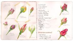 Rosebuds on journal pages