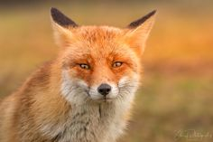 Red Fox by Schauf Photography on 500px