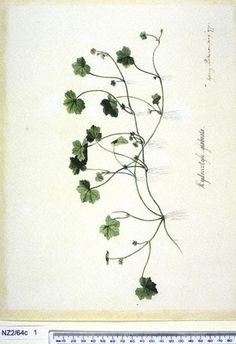 Hydrocotyle Americana - - New Zealand  -  artist Sydney Parkinson, Curtis's bot. Mag. 49: t. 2350 [1822].  The Endeavour botanical illustrations -