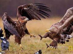 Batalha entre águias-de-cauda-branca