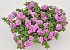 Картинки по запросу Petunia Surfinia Double Lilac Pink.