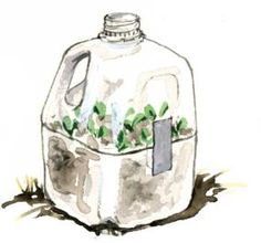 Milk jug seed starter. Gives more room for seeds than just a toliet paper tube or egg carton. Greenhouse