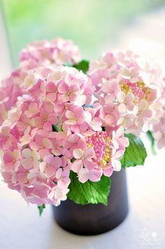 Pink lacecap hydrangeas