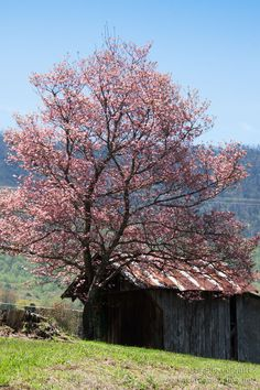 Spring Red Bud tree and old shed in Townsend TN  - backroadcycling.net