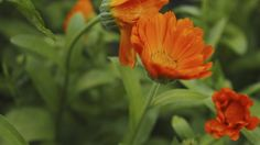 Pro pěstování jasně žluté nebo oranžové letničky nepotřebujete žádné zvláštní znalosti a zkušenosti, jejím vysazením na zahrádce nebo na balkóně ale získáte těžký kalibr vboji proti řadě zdravotních trablů.