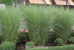 Miscanthus sinensis 'morning light'. This would be beautiful in one large pot by itself as an accent plant on the patio by either end.
