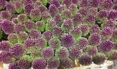 #Allium #Sphaerocephalum: Avaiable at www.barendsen.nl