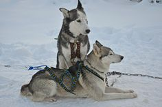 Husky-safari is an unforgettable experience! Even for a Finn it is one of the most exotic activities in the Arctic nature. We wanted to test it, too. Please take a look, how our girls were mushing. Our husky adventures take place in Ivalo and Vuokatti but also in other locations such as Nellim, Ranua and Luosto it is possible to book a husky activity. In case you are interested in longer overnight safaris (even 7 nights), please contact our customer service.