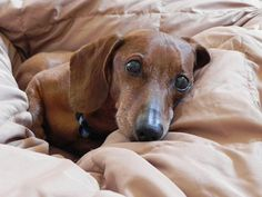 cute-dachshunds-richard75w-flickr