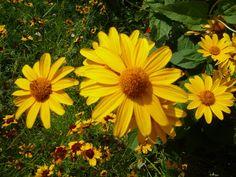 Heliopsis helianthoides ssp. scabra, des soleils plein le jardin  http://www.pariscotejardin.fr/2012/07/heliopsis-helianthoides-ssp-scabra-des-soleils-plein-le-jardin/#