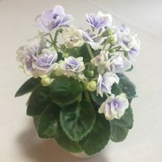 African Violet 'Jolly Orchid'. Double orchid and white blooms. Quilted, medium green miniature foliage. Extremely profuse bloomer.  AVSA #9719 (Pittman)