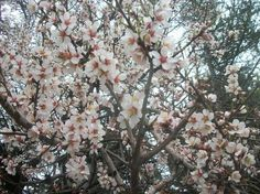 Almond blossoms in spring - National Geographic Your Shot