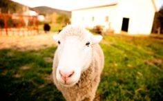 A sheep says hello at Amee Farm in Pittsfield, VT
