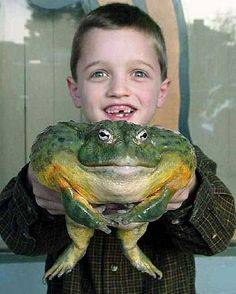 African Bullfrog (Pyxicephalus adspersus), aka the pixie frog due to its Latin name.  In a single-sex environment, the African bullfrog can switch genders.  It's one of three frog species that has sharp teeth.  It's best to pick them up from the back...