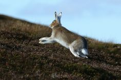 countryfile mountain hare - Google Search