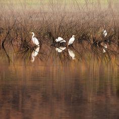 Nature Photography Print Great White Egrets Lake Fog Dreamy Serene by AsqewCreative