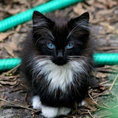 I used to have a kitty like this. His eyes turned yellow=green when he grew up. His name was Oreo.